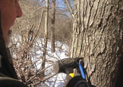 Tapping Maple Trees 3