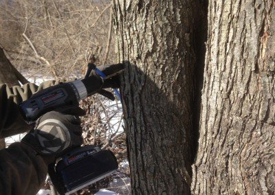 Tapping Maple Trees 1