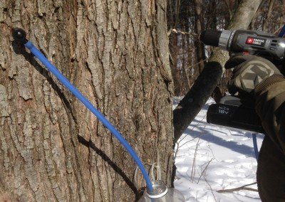 Tapping Maple Trees 5
