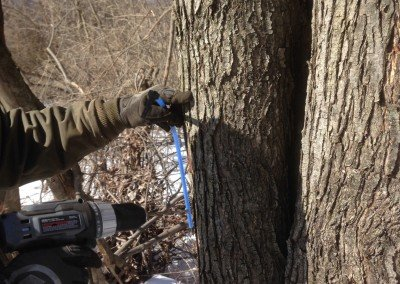 Tapping Maple Trees 4